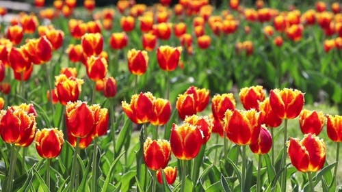 Tulips. A Lot of Red Tulips Swaying in the Wind.
