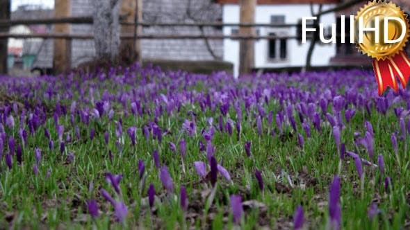 Thumbnail for Filed of Purple Crocus Flowers in Spring