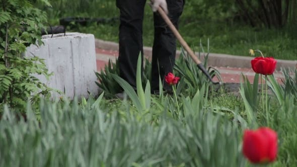 Thumbnail for Gardener Working With a Hoe In The Park With Tulips