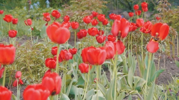 Thumbnail for Flowers Tulips In The Park