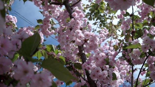 Thumbnail for Japanese Cherry Sakura Branch Blossoming