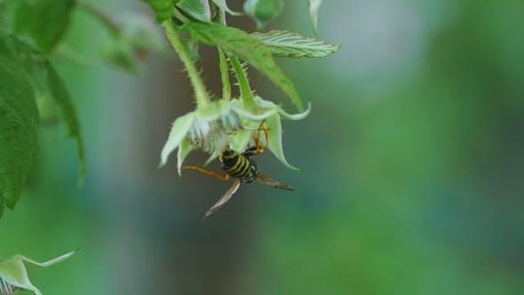 Thumbnail for Common Wasp ( Vespula Vulgaris)