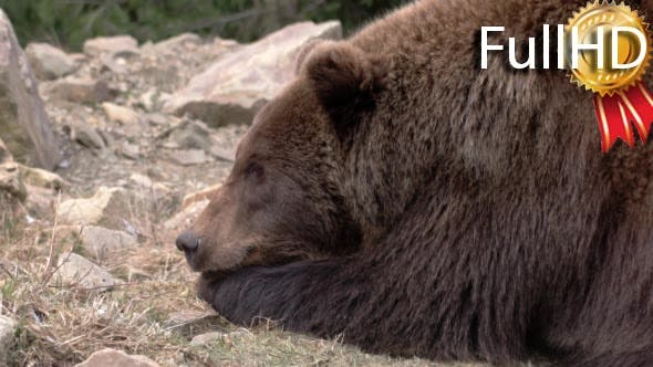 Brown Bear, Eating, Sitting, Looking, Nature,