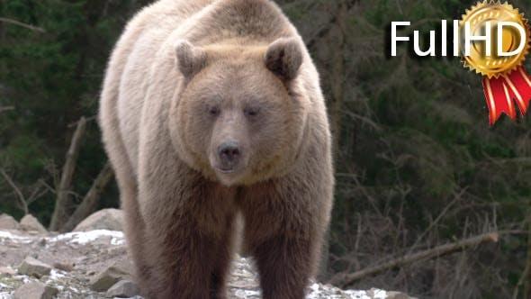 Thumbnail for Brown Bear, Eating, Playing, Sitting, Looking,