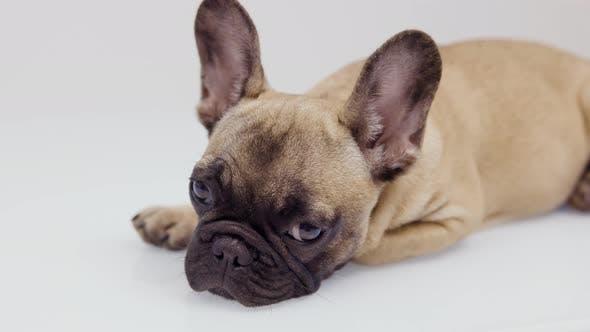 A Cute French Bulldog Puppy