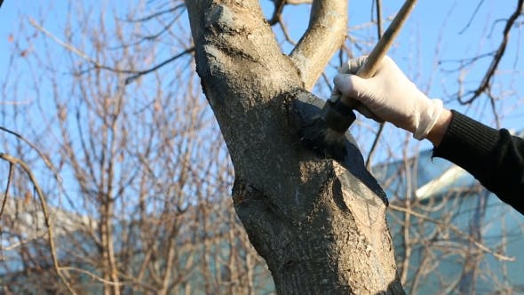 Thumbnail for Eldery Man Gardening, Painting Fresh Cuts On a Tree In Spring