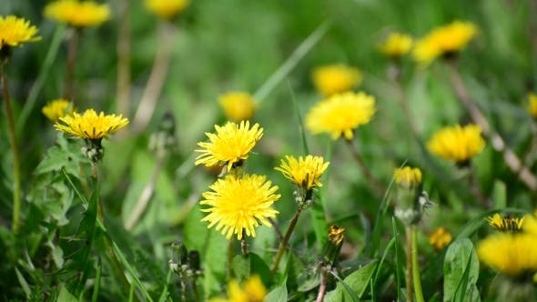 Thumbnail for Spring Yellow Dandelions In Breeze