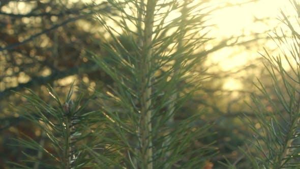 Thumbnail for Pine Tree Branch. Pine Needles. Green Pine Branch In Morning Light.
