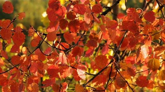 Thumbnail for Red Aspen Leaves