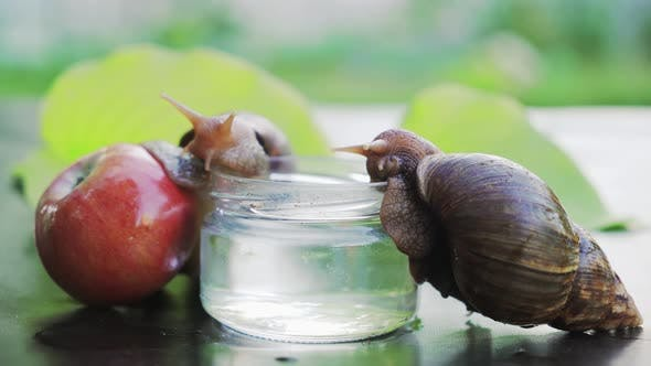 Thumbnail for Two Achatina Snails Sits on a Glass with Water