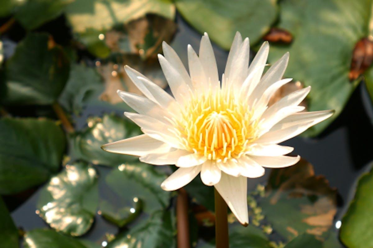 White Lotus Flower By Por888 On Envato Elements