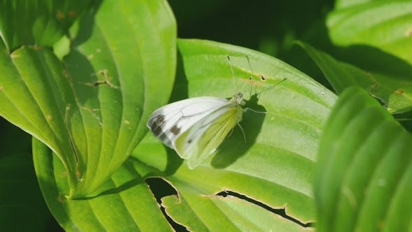 Thumbnail for Cabbage Butterfly On a Green Leaf