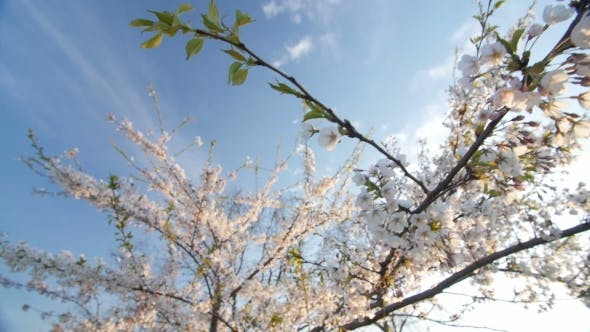 Cover Image for Low Angle View Of a Blooming White Cherry Tree Canopy