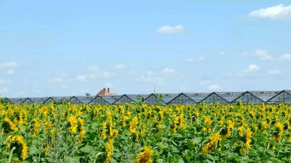 Thumbnail for Sunflowers Against The Blue Sky
