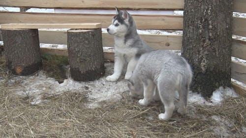 Husky Puppies in  Aviary