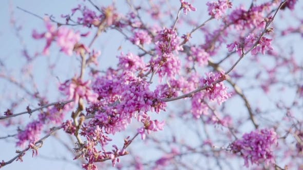 Thumbnail for Pretty Fresh Pink Cherry Blossom On Tree Branches