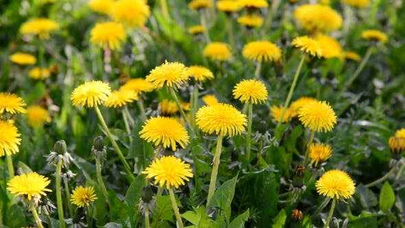Thumbnail for Glade Of Yellow Dandelions In Wind