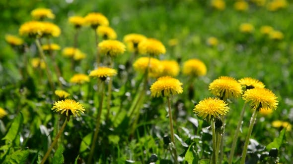 Thumbnail for Lot Of Yellow Dandelions In Meadow