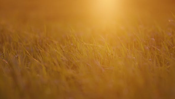 Thumbnail for Young Wheat In The Light Of The Setting Sun