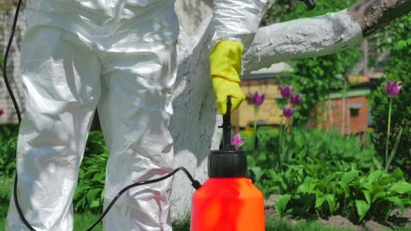 Thumbnail for Gardener Using Pump Sprayer For Fertilizing Trees
