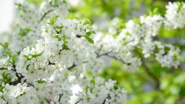 Thumbnail for The Branches Of Spring Cherry Blossoms