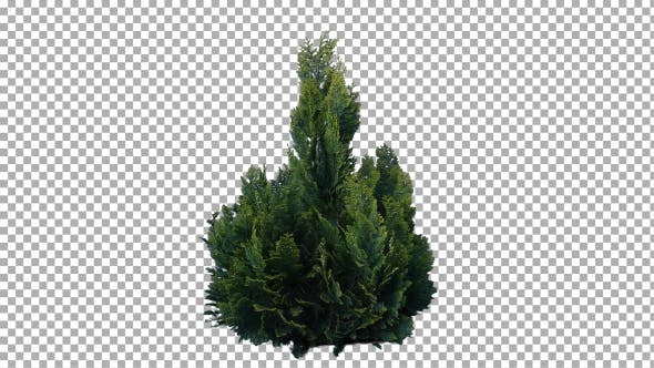 Thumbnail for Real Coniferous Plant Isolated 7