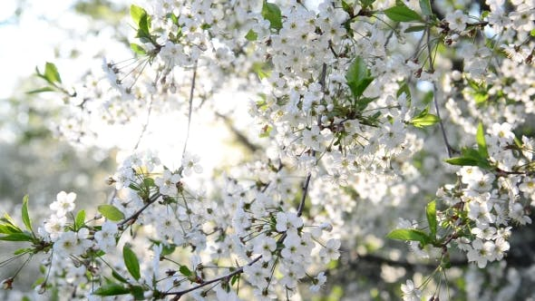 Thumbnail for Cherry Orchard Abundantly Blooming In Spring