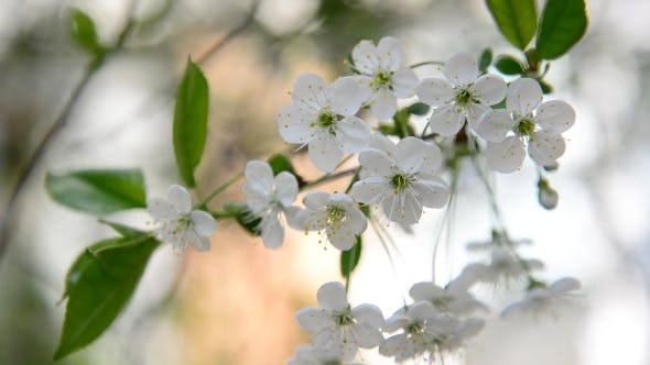 Thumbnail for Cherry Branch In Abundant Flowering,