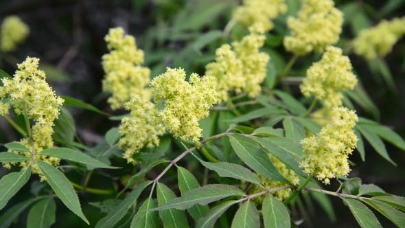 Thumbnail for Flowering Red Elderberry Outside In Early Spring