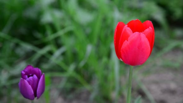 Thumbnail for Red And Purple Tulips In Breeze