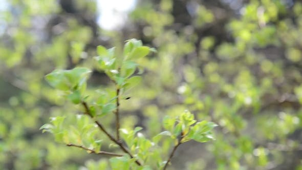 Thumbnail for Young Budding Leaves On Tree
