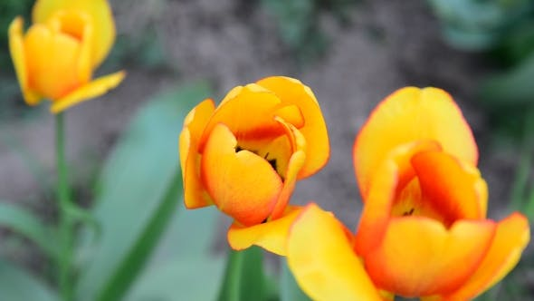 Thumbnail for Several Beautiful Yellow Tulips