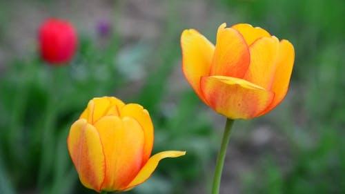 Mehrere schöne gelbe Tulpen