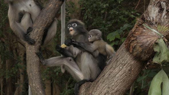 Thumbnail for Dusky Leaf Monkey Family