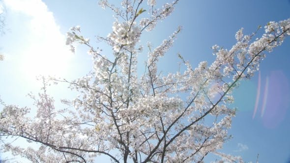 Thumbnail for Under The Cherry Blossoms