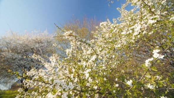 Thumbnail for Blossom  Caucasian Plum Tree By Spring