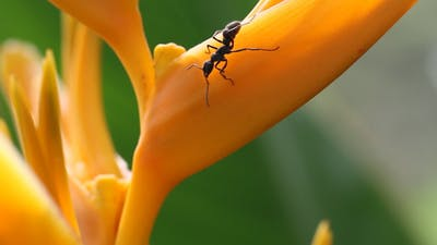 Ants on Heliconia Flower Full HD