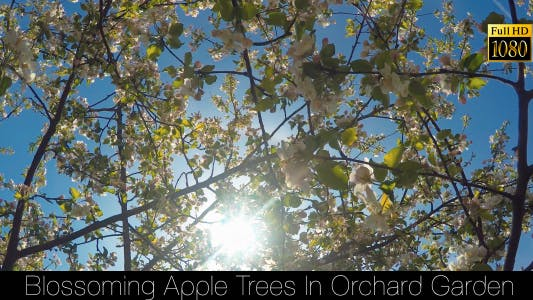 Thumbnail for Blossoming Apple Trees In Orchard Garden 4