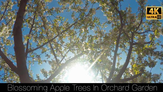 Cover Image for Blossoming Apple Trees In Orchard Garden 5