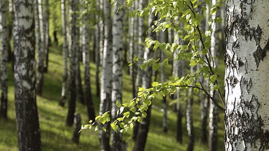 Thumbnail for Spring Birch Grove in a Sunny Day
