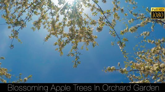 Thumbnail for Blossoming Apple Trees In Orchard Garden 6