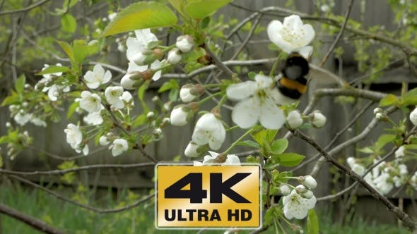 Thumbnail for Bumblebee On Cherry Blossom Flowers