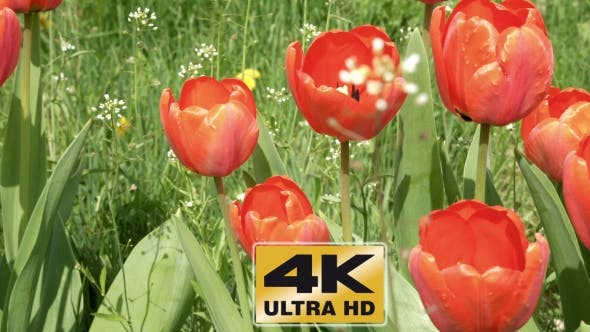 Thumbnail for Red Tulips In The Garden Flowerbed In The Wind