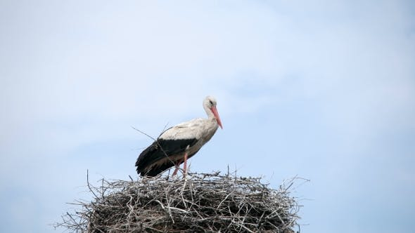 Thumbnail for Crane Bird In His Nest