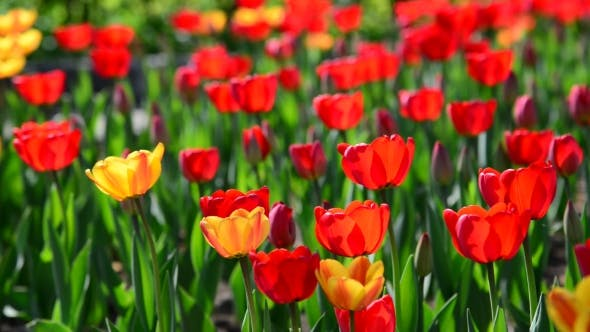Thumbnail for Many Varietal Red And Orange Tulips On  Flowerbed