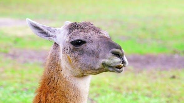 Thumbnail for Cute Llama Chewing