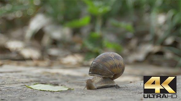 Snail on Wood Crawling
