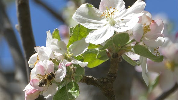 Thumbnail for Bee on Apple Blossom