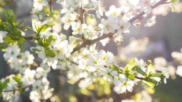 Thumbnail for Spring Background Of Branches Of a Blossoming Tree