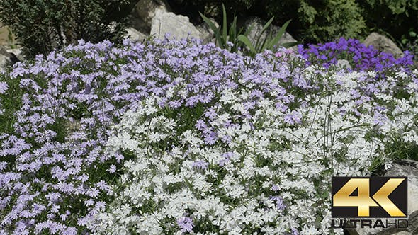Tiny White and Blue Flowers Bush